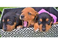 Beautiful Jack Russell x Daschund Puppies