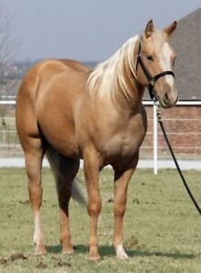 I'm looking for a Quarter horse gelding palomino