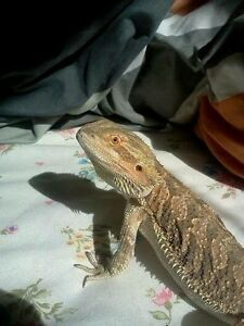 Bearded dragon & Set Up