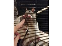 Monty the rat needs a good home with rats already in mind.
