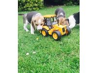Stunning purebred beagle puppies