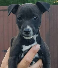 Patterdale x jack russel puppies