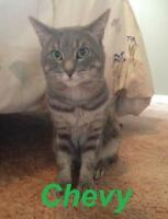 "Adult Male Cat - Tabby - Grey: ""Chevy - Foster Home Needed!"""