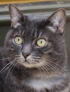 """Adult Female Cat - Tabby: """"Lori"""""""