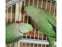 Alexandrine parrot pair with cage