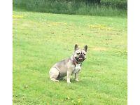 French bulldog 1 year old female
