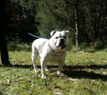Bulldog British x Aussi Pups Lyndoch Barossa Area Preview