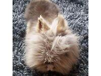 Lionhead bunny rabbits for sale