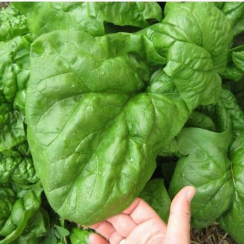 500 GIANT NOBLE  SPINACH SEEDS NON - GMO LONG STANDING SPINACH VARIETY