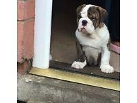 1 Male Victorian Bulldog Puppy Left