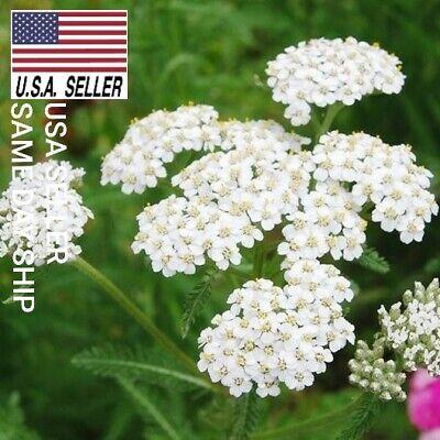 2,000++ WHITE YARROW HERB SEEDS MEDICINAL HEIRLOOM PERENNIAL  USA_SAME_DAY_SHIP! ()
