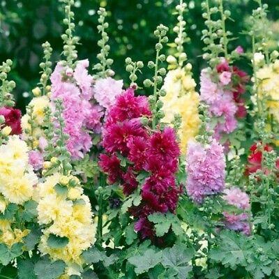 30+   HOLLYHOCK  SUMMER CARNIVAL / PERENNIAL, FIRST YEAR BLOOM FLOWER SEEDS