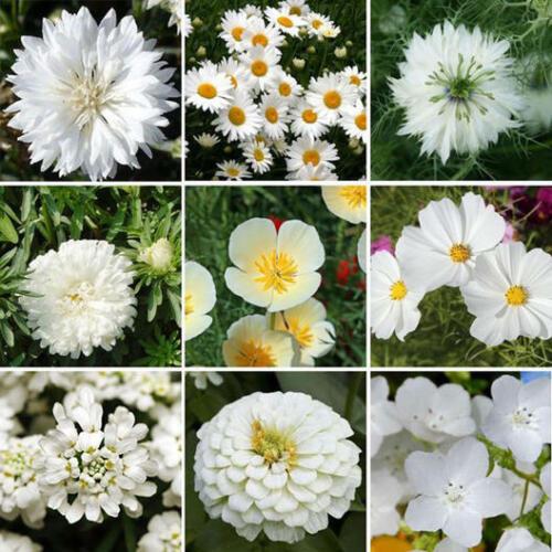 Americana ALL WHITE CLOUD 9 Mix Heirloom Pollinators Love Non-GMO 250 Seeds