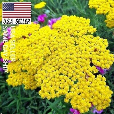500++ Seeds GOLD YARROW Achillea filipendulina☆ ☆Drought Tolerant☆MEDICINAL ()