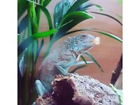 Blue Iguana For Sale : A guide to caring for iguanas as pets
