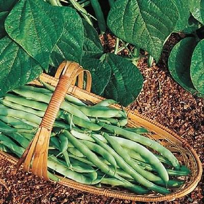 Kentucky Wonder Bush Green Bean 12 Seeds Heirloom Fun to grow!  - Kentucky Wonder Beans