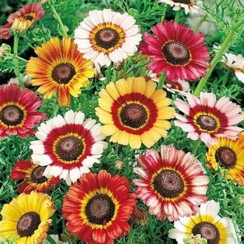 "PAINTED DAISY 3"" Flowers Heirloom Chrysanthemum Perennial Non-GMO 100 Seeds!"