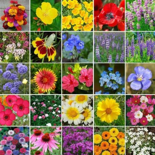 ALL HEIRLOOM Flower Mix 25 Species w/Perennials Fall Planting Non-GMO 500 Seeds