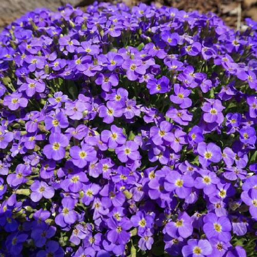 AUBRIETA WHITEWELL GEM Purple Perennial Groundcover Rock Cress NonGMO 200 Seeds