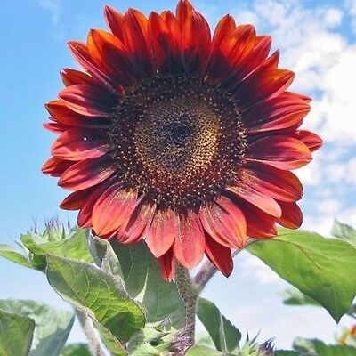 "Red Sun Sunflower ""Helianthus Annuus"" 50 Seeds"