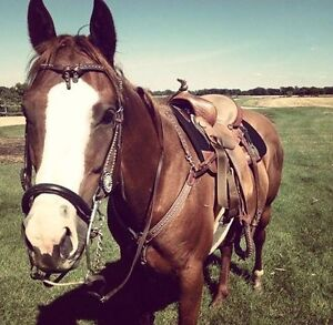 athletic well trained gelding for sale