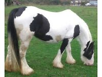 7 year old cob mare for sale