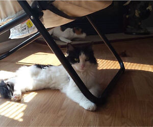 Free cat to a good home Cambridge Kitchener Area image 5
