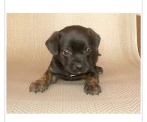 CUTE PUPPY PUGGLE LOOKING FOR HOME