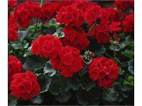 Geranium Best Red - Plants in 9 cm diameter pots - scarlet red flowers. Provides months of colour