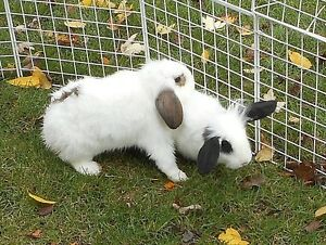 NEUTERED young male bunny rabbits - one or both