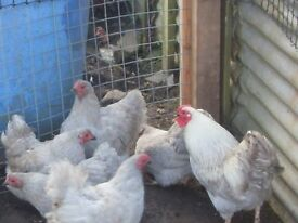 Chickens Bantams Trio Lavender Wyandotte 12 Month Old