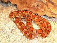 Female corn snake