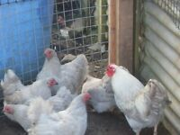 Trio Lavender Wyandottes 12 months old £25 pick up only