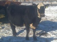 For Sale 25 Bred Cows