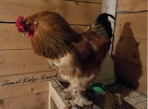 wanted Buff Brahma Rooster