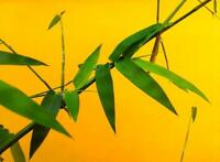 Grow TCM Herbs with Feng Shui