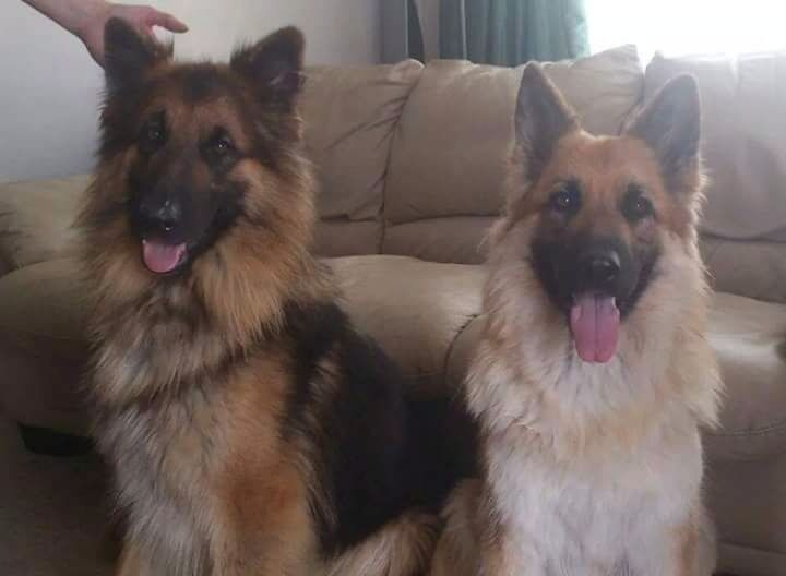 Long Haired Long Coat German Shepherd Puppies Dogs For Sale In Italy