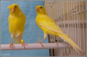 Looking for yellow or orange canary