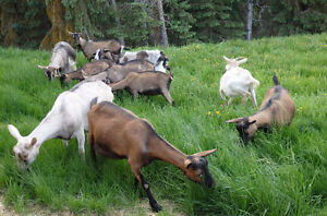 Dairy Goats/ bred and unbred does and breeding bucks for sale Prince George British Columbia image 6