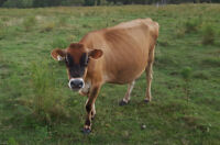 Jersey Cow - Registered