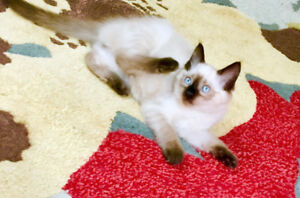 Gorgeous Seal Pointed Ragdoll Male