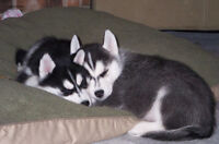 pure breed husky puppies for sale ($350)
