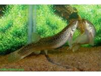 2 FREE WEATHERLOACH FOR FISHTANK