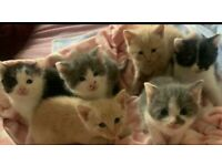 British shorthair BSH kittens British Blue