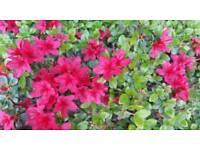 2 Azalea Japonica shrubs