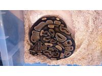 Royal python collection hatchlings adults and sub adults cheap bargain