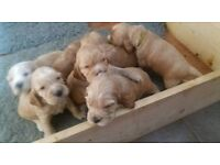 KC reg, Cocker Spaniel puppies