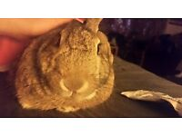 Four Year old male rabbit Free to good home