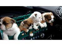 Beautiful British Bulldog Pups **2 girls left**