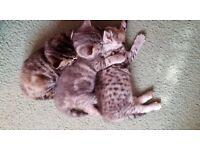 BSH kittens, GCCF reg